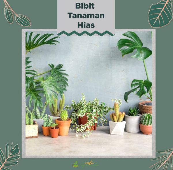 bibit tanaman hias