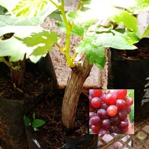 Bibit Anggur Ninel