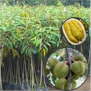 jual bibit durian musangking