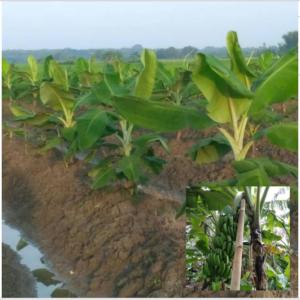 kebun pisang cavendis