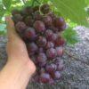 Buah Anggur Ninel