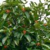 manggis berbunga