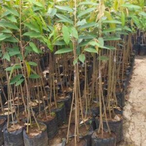 Bibit Durian musangking kaki 3