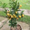 bibit jeruk nagami